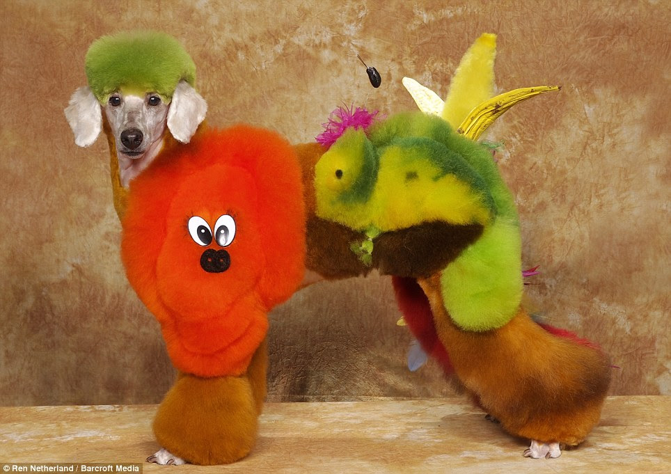 Extreme: Some of the groomers use semi-permanent hair colour brands. This poodle has been transformed into a macow parrot