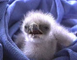 Baby eagle: Top right hand corner of the net