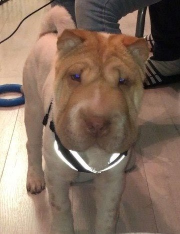 Peng – 6 month old male Shar-pei