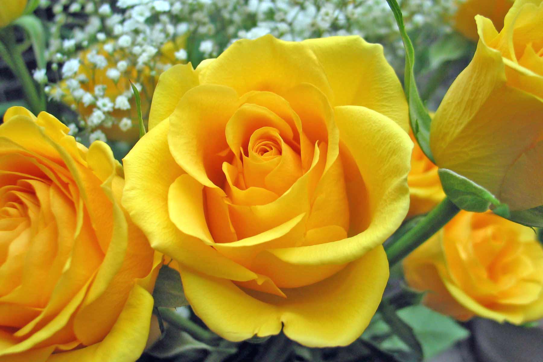 http://teguh77.files.wordpress.com/2010/02/single-yellow-rose.jpg