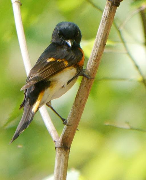 Ed Gaillard: birds &emdash; American Redtsart disapproves of you