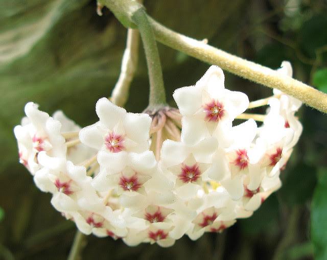Perierga.gr - Wax plant