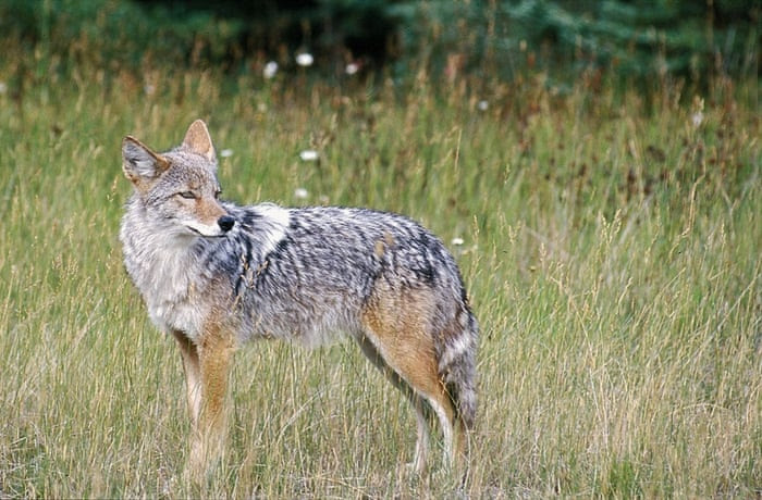 A coyote stands in a field in this undated file photo. Hunters are tromping through the countryside of a remote Northern California county, as they compete in a controversial contest to see who can kill the most coyotes. Organized coyote hunts that award prizes to the top marksman have sparked a culture clash in California between wildlife advocates who value the animals as an essential part of the landscape and people who view coyotes as wily varmints to be hunted down to protect livestock. On Wednesday, Dec, 3, 2014, the California Fish and Game Commission will consider banning prize hunts for coyotes as well as foxes and bobcats, which also are legal to kill year-round in unlimited numbers. (
