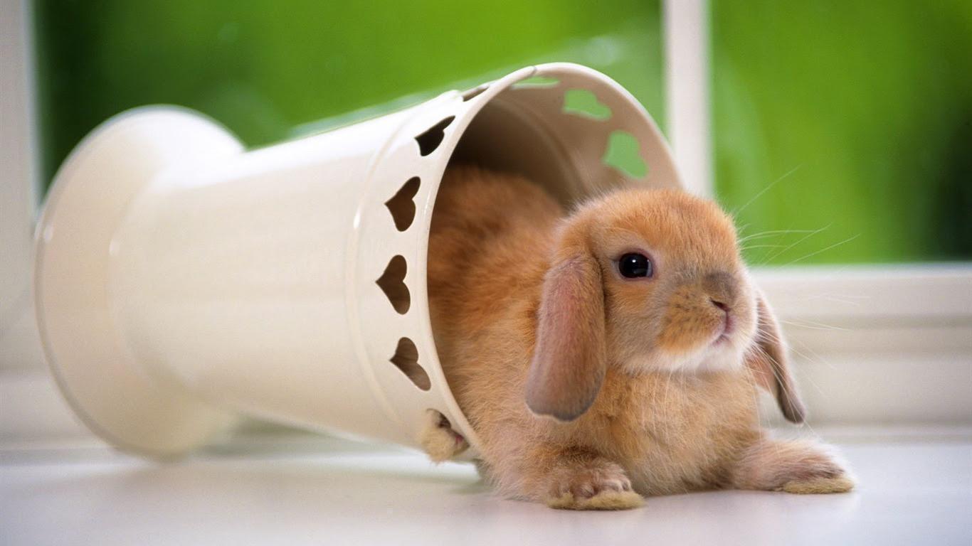 かわいいウサギの壁紙 15 1366x768 壁紙ダウンロード かわいい