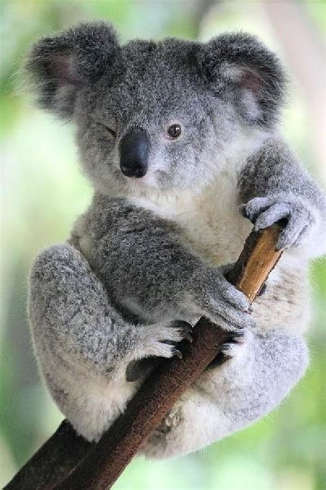 shangralafamilyfuncom shangralas koalas  close