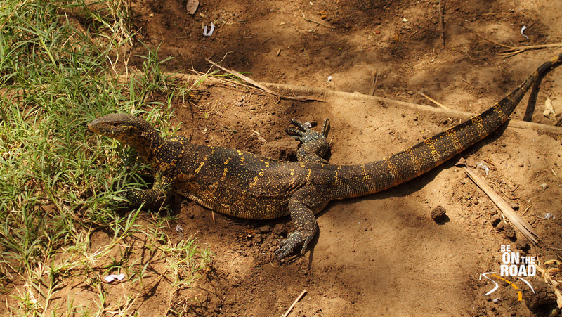 A Young Nile Monitor by the banks of the Talek river