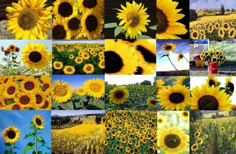 Sunflowers Background | Free Backgrounds for Facebook ...
