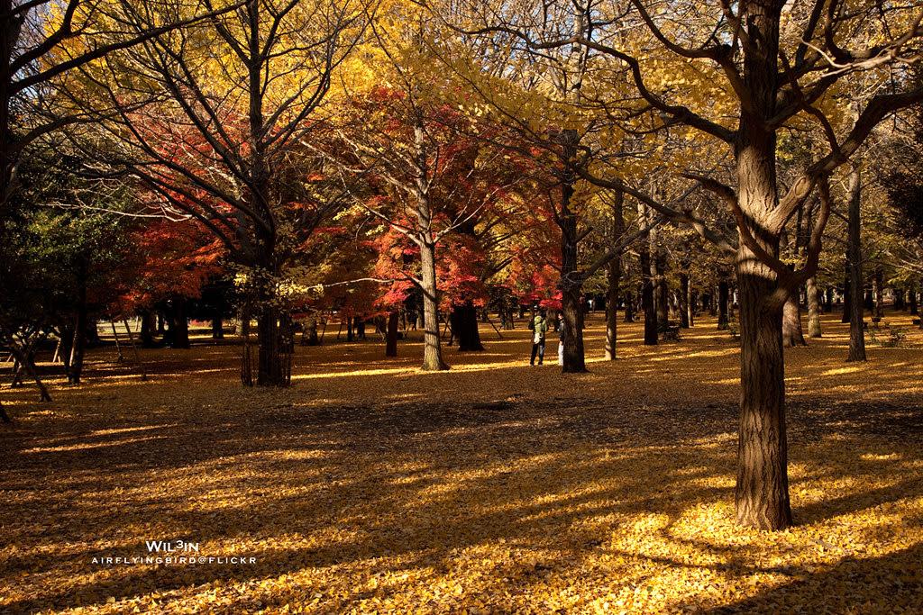 紅葉與銀杏