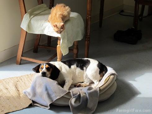 Molly Doodlebug eyeing Bert's bed - FarmgirlFare.com
