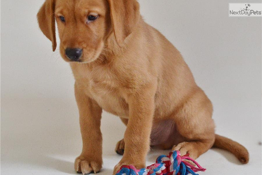 Goldador Puppies For Sale From Reputable Dog Breeders  Autos Post