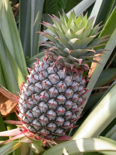 ανανάς-καλλιέργεια