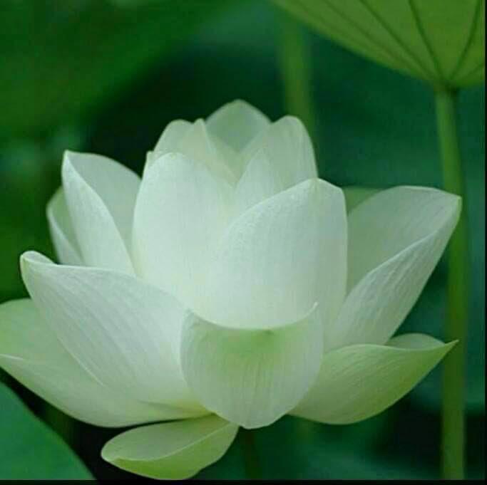 hoa sen nhật mini