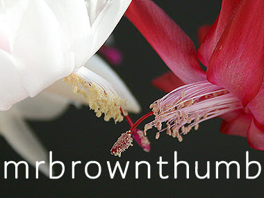 How to pollinate Thanksgiving cactus flower