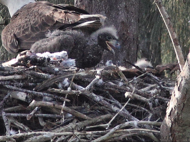 Bald Eaglets hostile confrontation 2 20140205