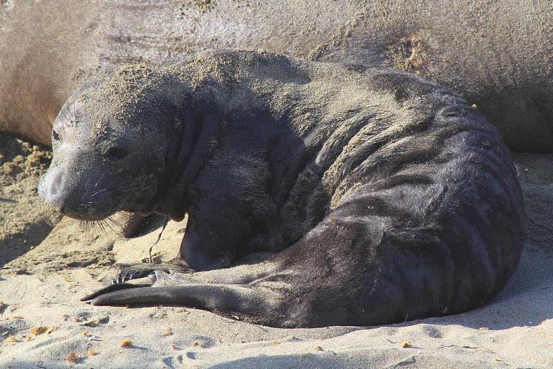 IMG_5244 Elephant Seal Pup