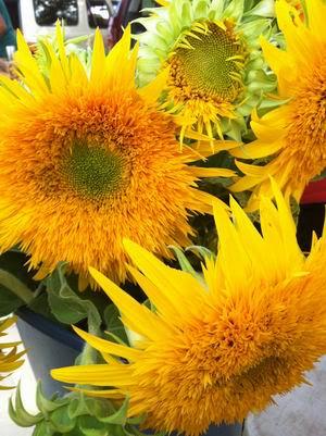Fuzzy sunflowers