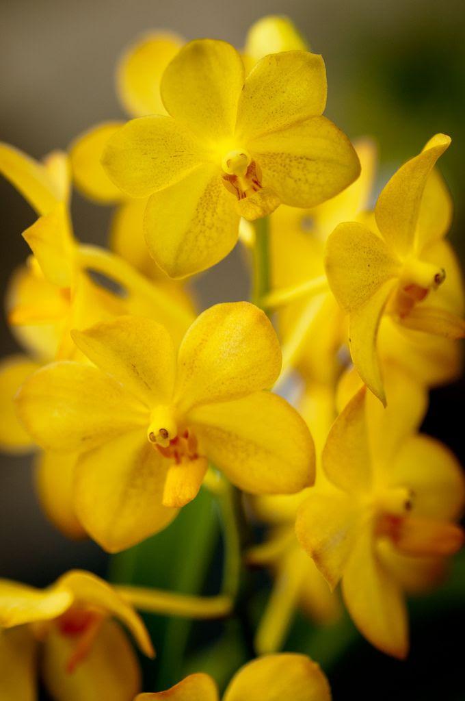 Lemon-colored orchids