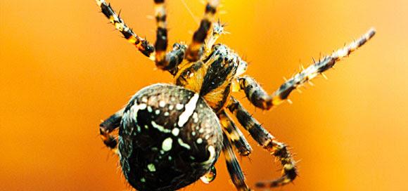 Garden orb spider by Chris Maguire