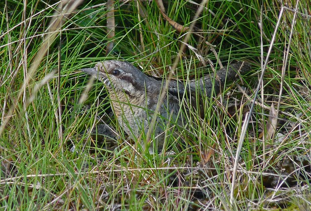 25064 - Wryneck, Newport Wetlands