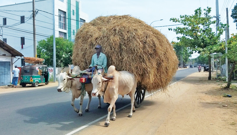 Straw shortage for cattle