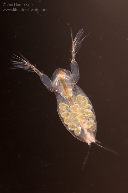 Images Tagged Water Fleas Life In Freshwater