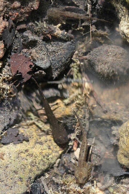 Lissotriton helveticus (larves)