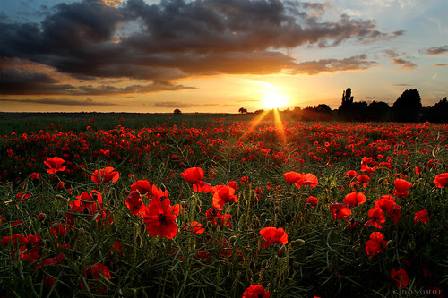 Poppies by Chris Donohoe