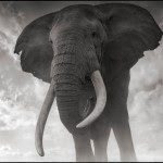 Elephant Against Sky, Amboseli