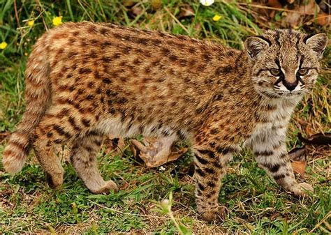 Kodkod   Small Wild Cat of the West   Animal Pictures and Facts   FactZoo.com