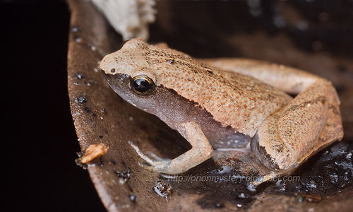 Dark sided chorus frog, Microhyla heymonsi....IMG_9171 merged copy