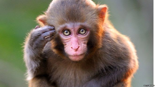 STRANGE! Monkeys Invade Osun Hospital's Trauma Centre