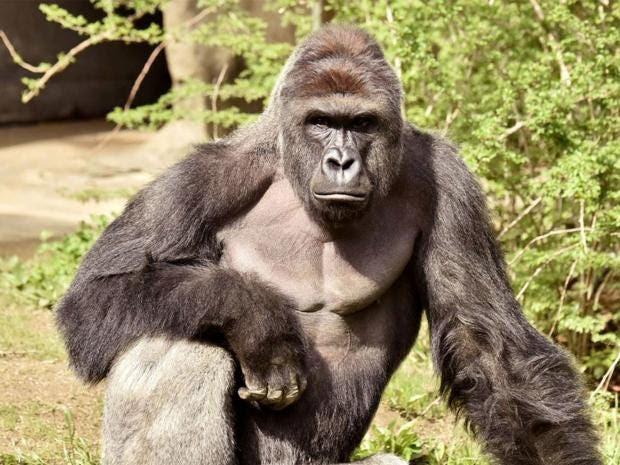 harambe-gorilla.jpg