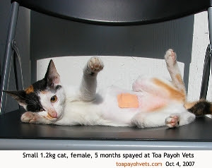 5-month-cat spayed. Remove plaster in 10 days if the cat has not done so. Toa Payoh Vets