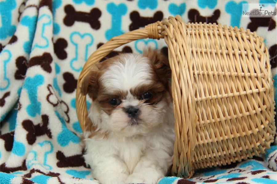 Shih Tzu puppy for sale near In Singapore