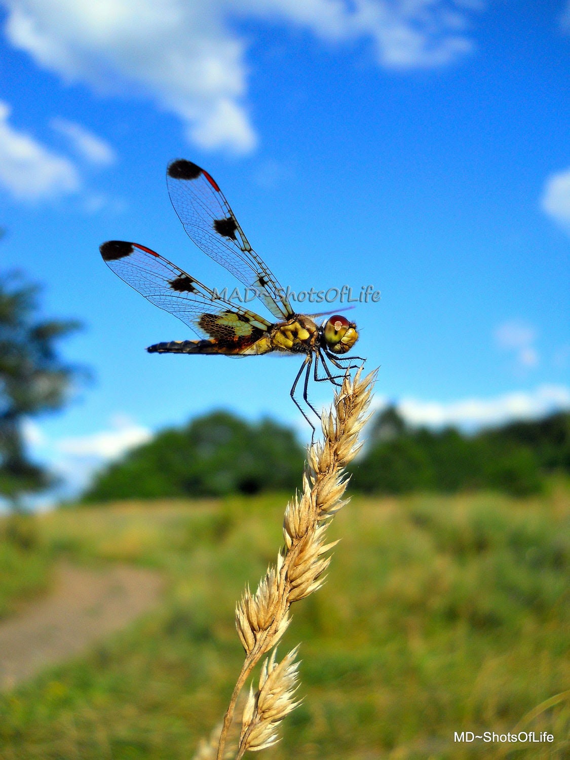 Nature Photography - Dragonfly - Picture - Macro - 8x10 Blue sky over the green meadow - Fine Art Photography - Home Decor