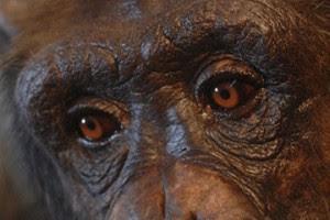 chimp1_promo