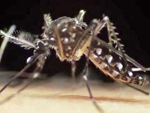 Aedes aegypti (Foto: G1)