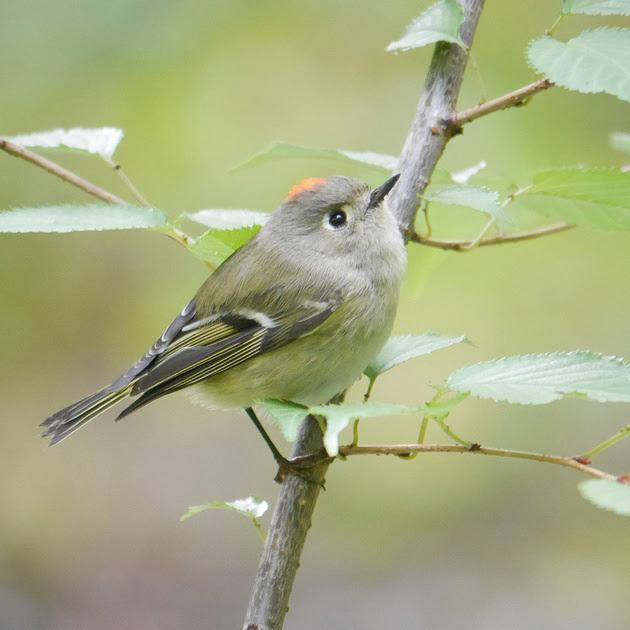 Ed Gaillard: birds &emdash; Ruby-Crowned Kinglet, Central Park