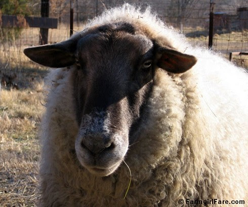 Big Chip Suffolk sheep - FarmgirlFare.com