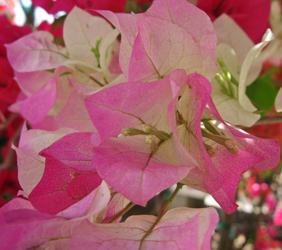 What S Bloomin Now Bougainvilleas The Garden Fairies