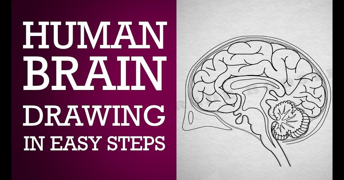Simple Brain Diagram Class 10 ~ DIAGRAM