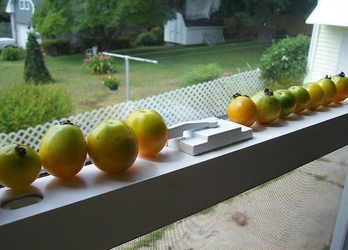 tomato_windowsill2