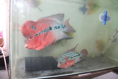 Marziyas Super Red Dragon Flowerhorns Breeding Pair by firoze shakir photographerno1
