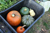 pumpkins in the wheelbarrow