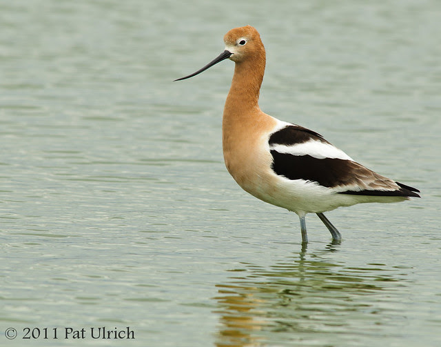 Avocet portrait - Pat Ulrich Wildlife Photography