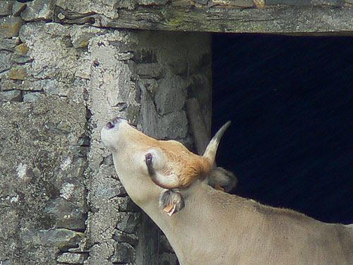 la vache lèche la pierre.jpg