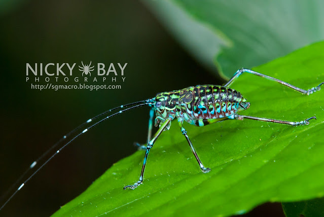 Cricket (Gryllidae) - DSC_8066