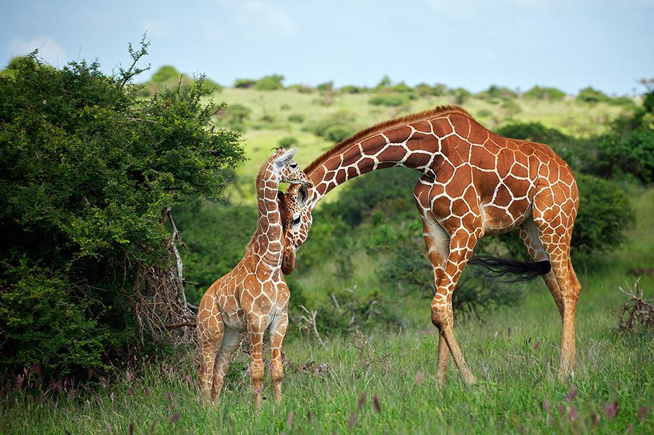 Giraffe Mother And Baby Take 2 Sean Crane Photography