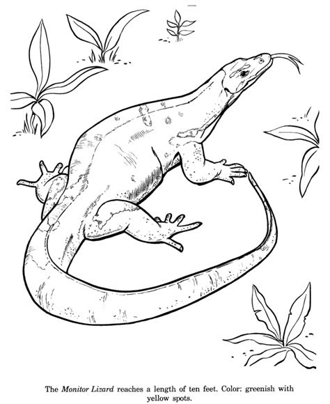 lizard coloring pages    print
