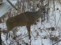Hard to see, but this deer has a missing left rear foot